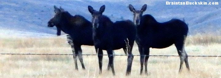 Three moose standing together.